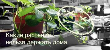 Цветы-вредители: какие растения нельзя держать дома, и почему?