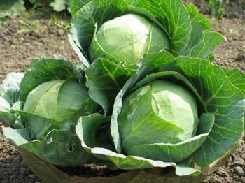 Как вырастить капусту в отрытом грунте: выбор подходящего сорта, подготовка почвы