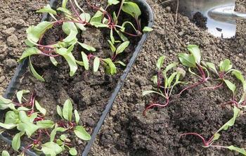 Высаживание свеклы рассадой в открытый грунт