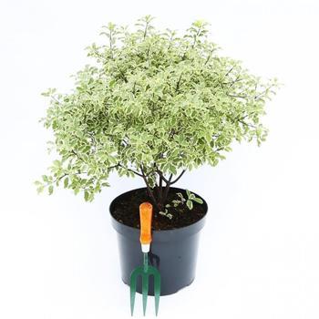 Питтоспорум: выращивание и уход