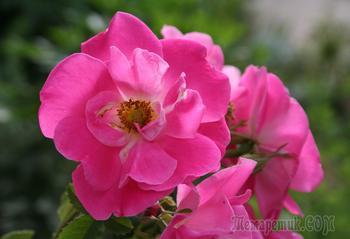 Почему у розы не 5, а 7 листочков, означает ли это, что вы купили шиповник