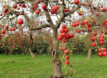 Карликовые яблони: особенности посадки