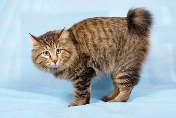 Порода кошек курильский бобтейл