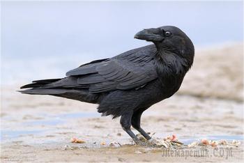 Самые умные птицы в мире: ТОП 10