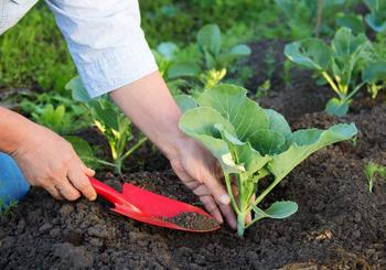 Выращивание рассады капусты: все этапы процесса