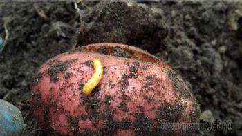 Эффективные способы избавления от проволочника на участке с картофелем