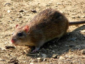 Крыса в доме....