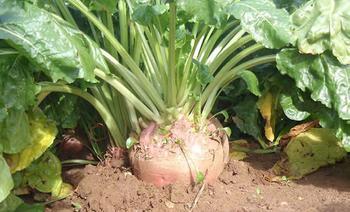 Выращивание и уход за кормовой свеклой