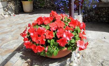Комнатные цветы: на лето — в открытый грунт