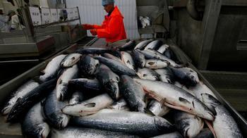 La Croix: эмбарго помогло — в России стремительно растёт производство лосося