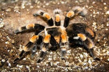 Некоторые из самых ядовитых и опасных пауков в мире