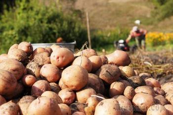 Обновляем сорта картофеля: 5 способов