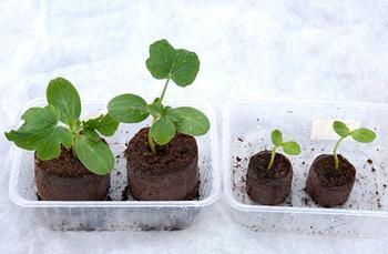 Когда сажать арбузы на рассаду: подготовка семян и правила выращивания