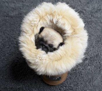 Мама-мопс и пятеро мопсят: Мимимишная фотосессия новорожденных щенков