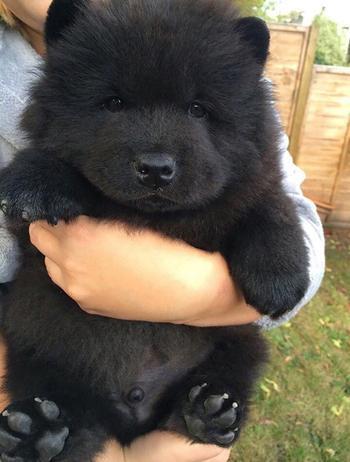 Пухлые щенки, которые выглядят как медвежата