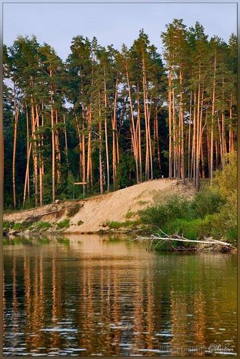 Шум сосен (берегите природу)