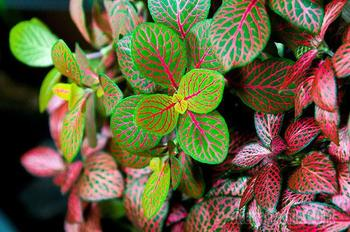Яркая капризница: виды фиттонии для выращивания дома