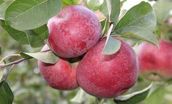 Характеристики и описание яблони сорта Лобо, выращивание и уход