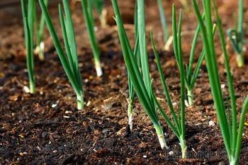 Лук на перо: советы по выращиванию