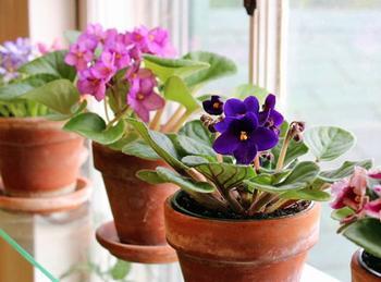 Размножение фиалок в домашних условиях листом