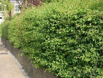 Живая изгородь из боярышника – как сделать своими руками?