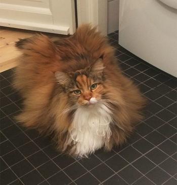 Самая пушистая кошка в мире