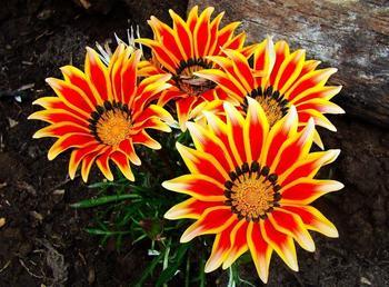 Газания: посадка и уход, фото, когда сеять семена?