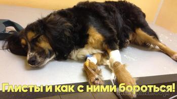Глисты у собак и кошек - симптомы, профилактика, лечение. Советы ветеринарного врача.