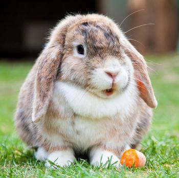 Вислоухие кролики породы карликовый баран