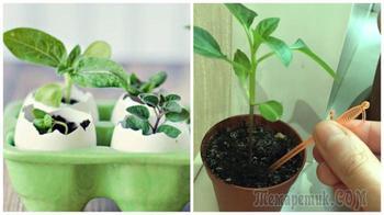 Как грамотно выращивать рассаду на балконе или подоконнике для будущего знатного урожая