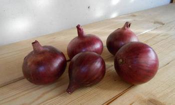 Характеристика и описание сорта лука Кармен МС, выращивание и уход