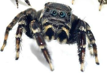 Арахнологи открыли 5 новых видов пауков-скакунов