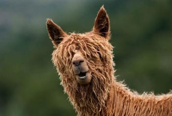 15 фотографий прелестных альпак, которые поднимут вам настроение