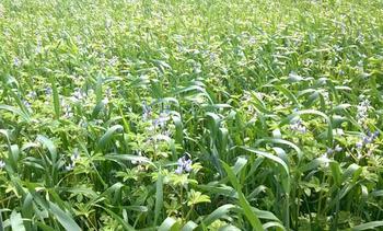 Когда сеять и убирать Люпин, посаженный как сидерат для улучшения плодородия почвы