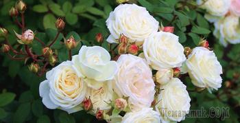 Шрабы или «розы – фонтаны»