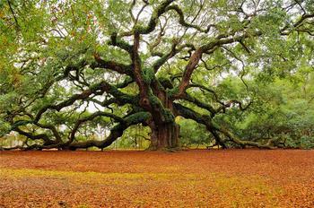 """Необыкновенное дерево """"Дуб Ангела"""""""