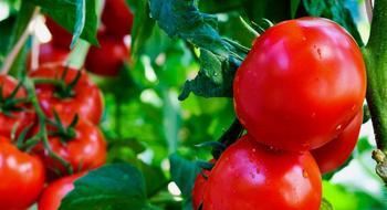Как пасынковать помидоры в теплице пошагово?