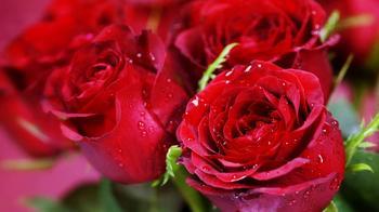 Когда можно пересаживать розы осенью с одного места на другое?