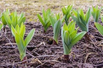 Описание сорта лука Суворов — особенности выращивания