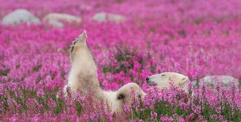 Белые медведи в цветущем поле, Северная Канада