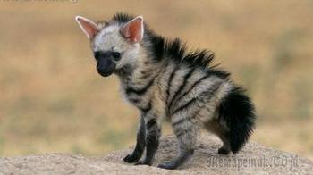 15 фотографий, доказывающих, что африканские земляные волки — самые милые маленькие животные в мире