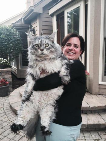 18 огромных котиков, которые одним только своим видом показывают, кто в доме хозяин