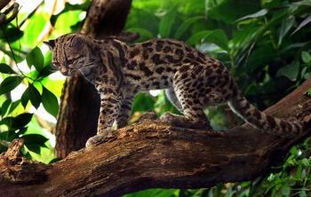 7 представителей семейства кошачьих, о которых знают далеко не все