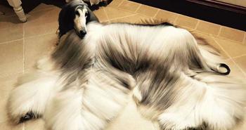 Когда у собаки прическа лучше, чем у тебя: китаец тратит тысячи долларов на уход за шерстью питомца