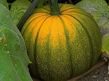 Рекомендации по выращиванию тыквы в открытом грунте семенами или через рассаду
