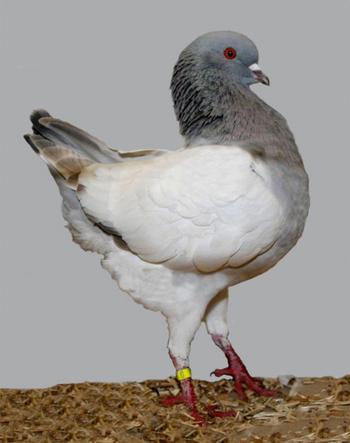23 фотографии голубей, о существовании которых вы, скорее всего, даже не знали