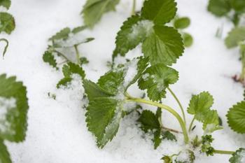 Как укрывать клубнику на зиму?