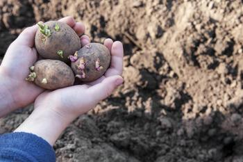 Посадка картофеля в июне: все плюсы и минусы данного способа выращивания