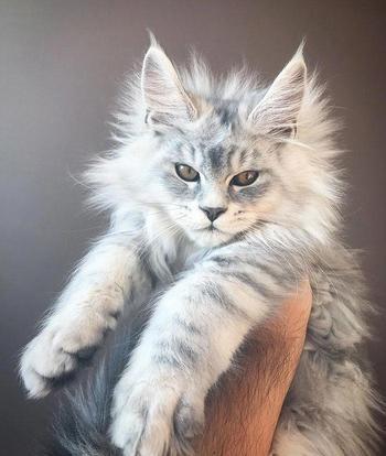 25 милых котят мейн-кунов, которые через пару месяцев станут величественными гигантами