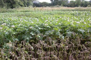 Как избавиться от фитофторы на картофеле?